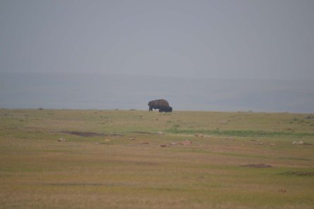 grasslands bison, downsized