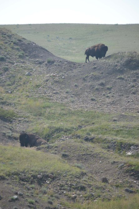 grasslands bison x 2, day one, downsized