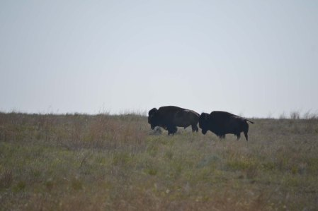 grasslands bison x 2, downsized