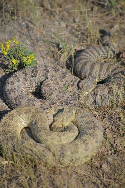 Grasslands rattlesnakes